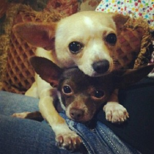 Our Chihuahuas, Julie (top) and Junie (bottom). Aren't they cute?